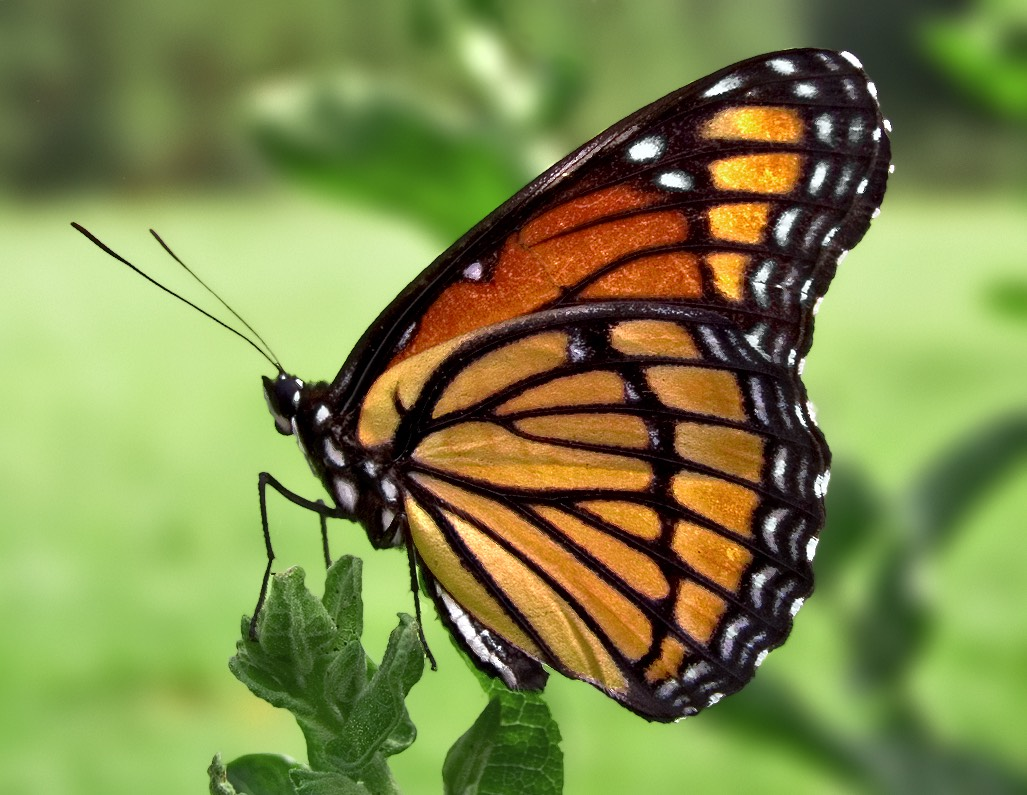 image%3A%3A7f2f0b890096490858b6 Viceroy Butterfly compressed